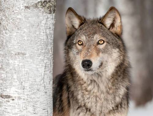 Medium Of Dogs That Look Like Wolves