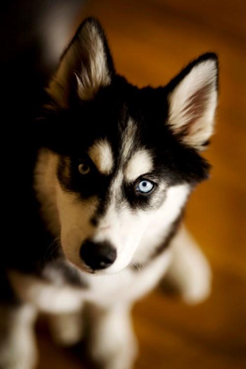 Medium Of Types Of Huskies
