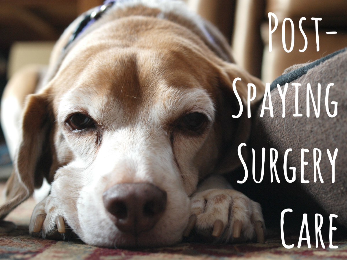 Incredible How To Care Dogs After Spaying Surgery Pelpful Can Dogs Cry Emotional Tears Can Dogs Cry Tears When Sad bark post Can Dogs Cry