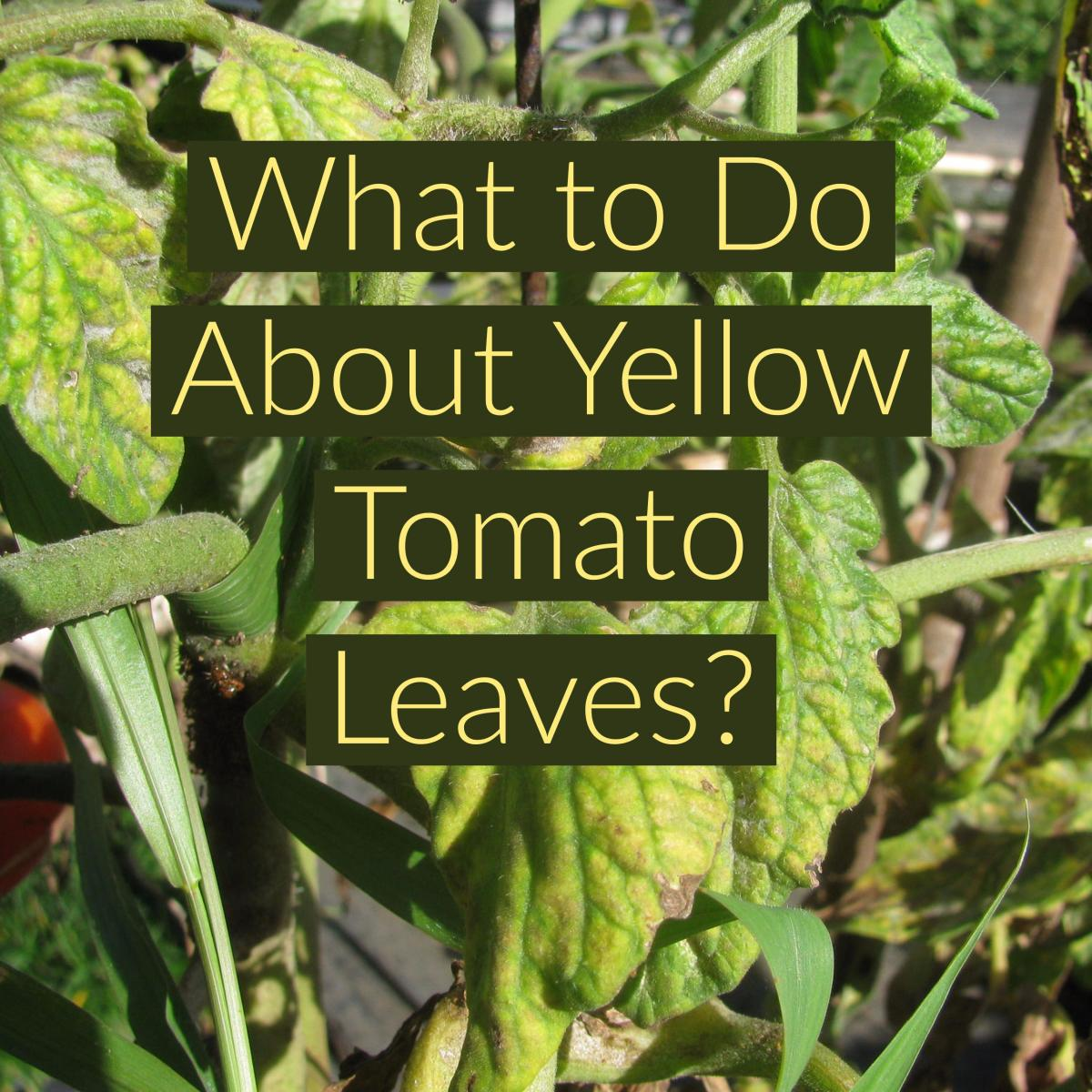 Genial Turning Yellow Tomato Plant Leaves Curling Purple Yellow Leaves On Tomato Plants Dengarden Tomato Plant Leaves Curling Causes Cures houzz 01 Tomato Plant Leaves Curling
