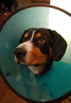 ... Small Of Homemade Dog Cone ...