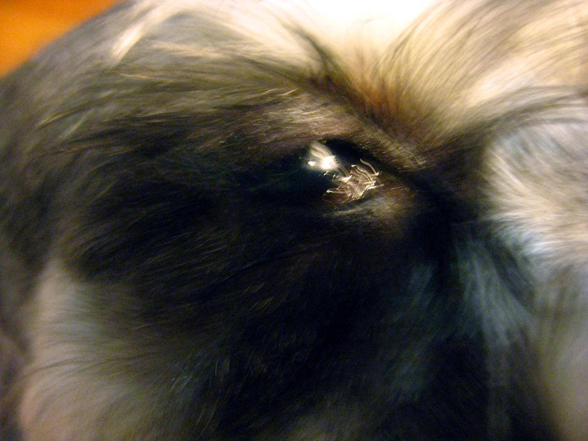 Superb Kcs Or Dry S Causes One Diagnosis Pelpful Dog Boogers Black Dog Boogers Myth bark post Dog Eye Boogers
