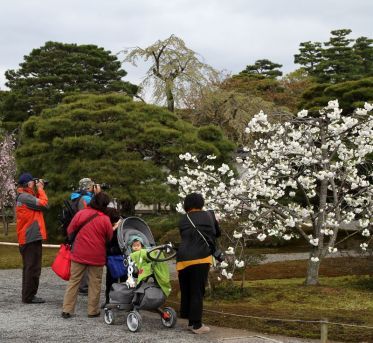 L'activité favorite des japonais : photographier un cerisier en fleur
