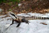 Dragon d'eau australien, à proximité de Manly