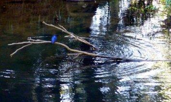 Un martin-pêcheur à dos bleu!