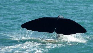 Le cachalot géant qui replonge dans les profondeurs de l'océan...