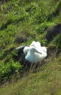 """Un """"bébé"""" albatros royal"""