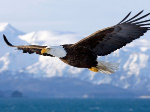 Bald Eagle in flight. http://photopin.com/