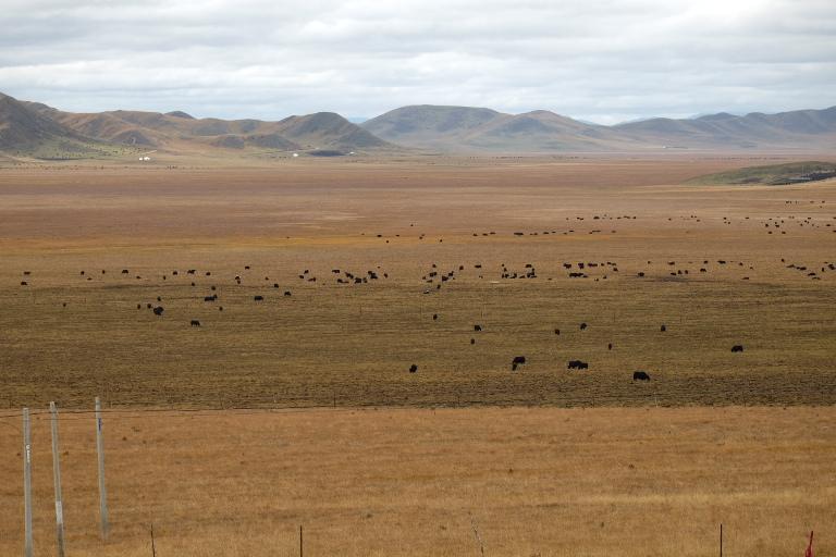 Grasvlaktes vol yaks
