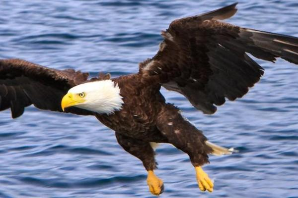 bald-eagle-flying-water