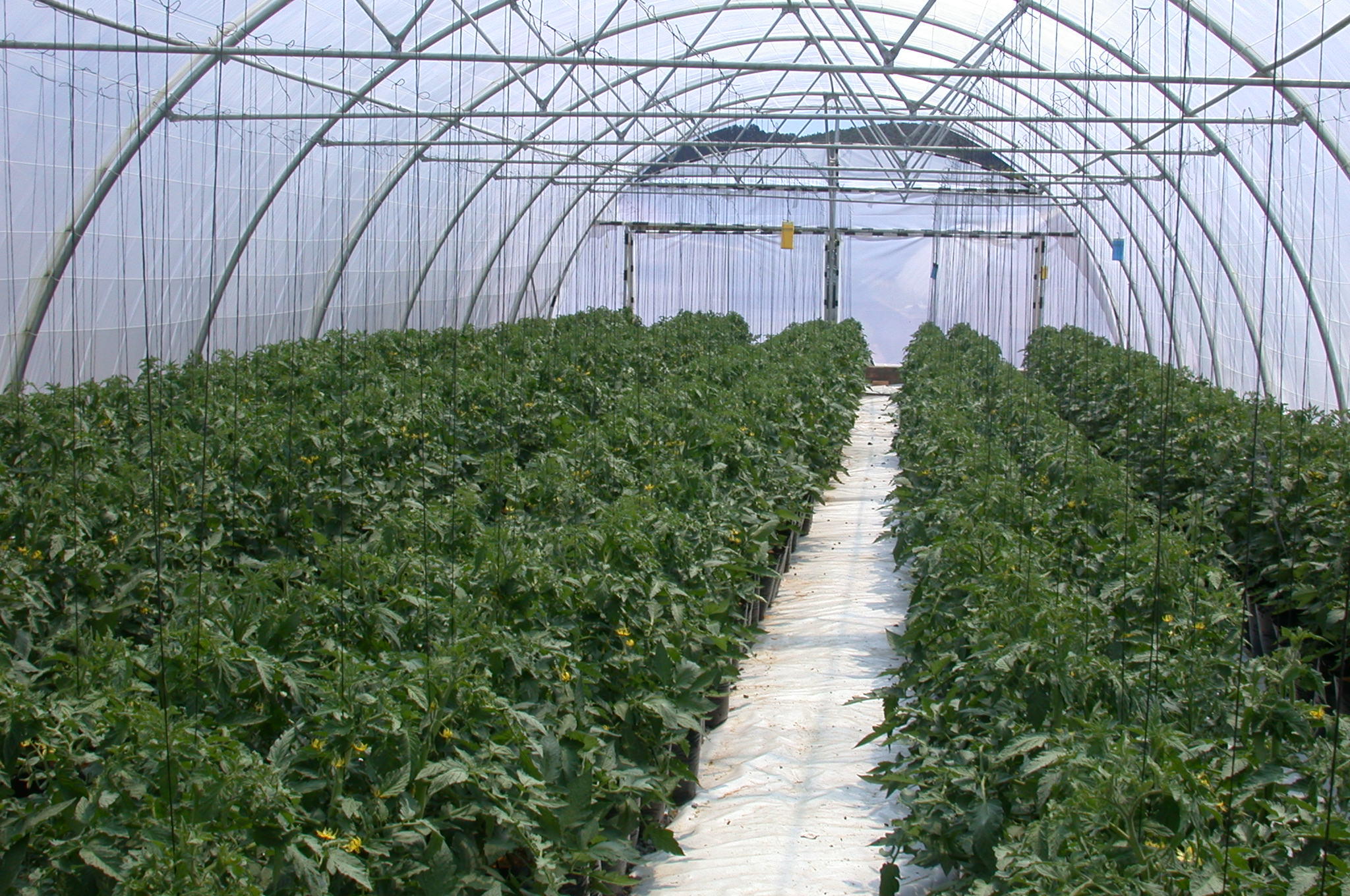 Exciting Tomatoes Planted A Row At Plants Per Soillesssubstrate Is Pine Link Between Plant Yield Revenue From A Tunnel Tomato Plant Spacing Aquaponics Proper Tomato Plant Spacing houzz-03 Tomato Plant Spacing