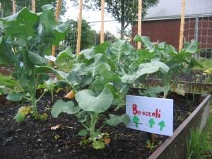 Broccoli June8
