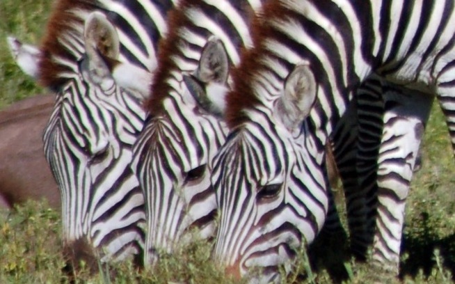 zebras are far more consistent than the mobile ecosystem