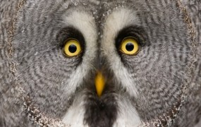 big eyed owl twitter