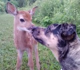 Deer and dog
