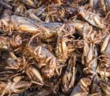 crickets adisak soifa shutterstock