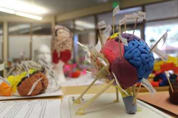 Advanced Placement Psychology students made models to study learn about the brain. In the Advanced Authentic Research program, students will be able to perform research in fields such as neuroscience. Photo by Josh Code.