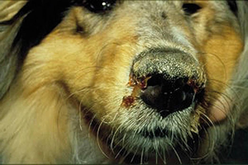 Чумка у собаки симптомы