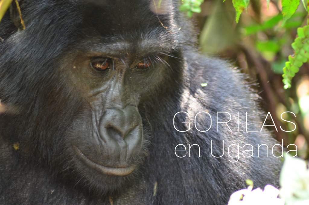 Gorila Uganda