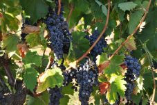 A selection of our grapes