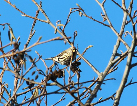 Common Redpoll 2 Cowichan Bay Nov 28 2015