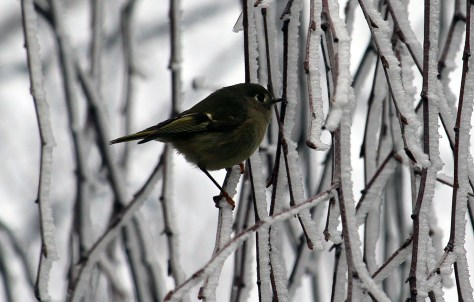 Ruby-crowned Kinglet2