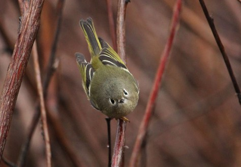 Ruby-crowned Kinglet4