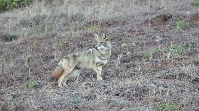Coyote Huffing