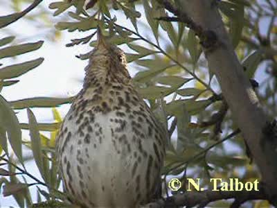 Song Thrush (Turdus philomelos) by Nick Talbot