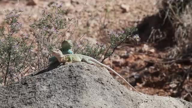 Collard lizard courtship