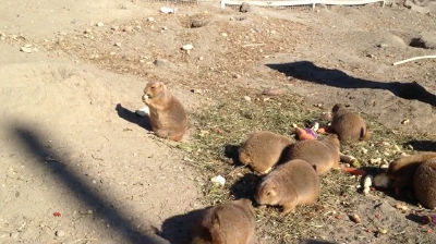 Black-tailed Prairie Dogs Eating Peanuts