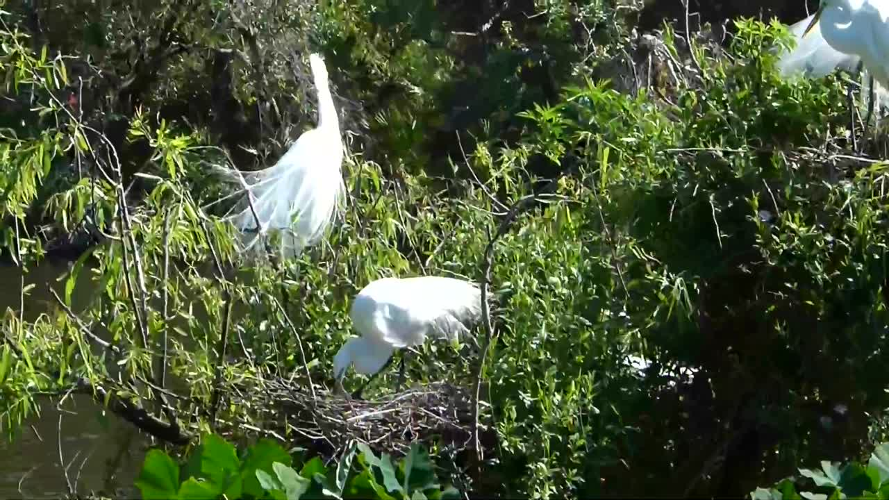 Great Egrets Greeting and Changing Nest Duties at Gatorland