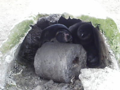 Humboldt Penguins in the nest, Punta San Juan reserve, Peru