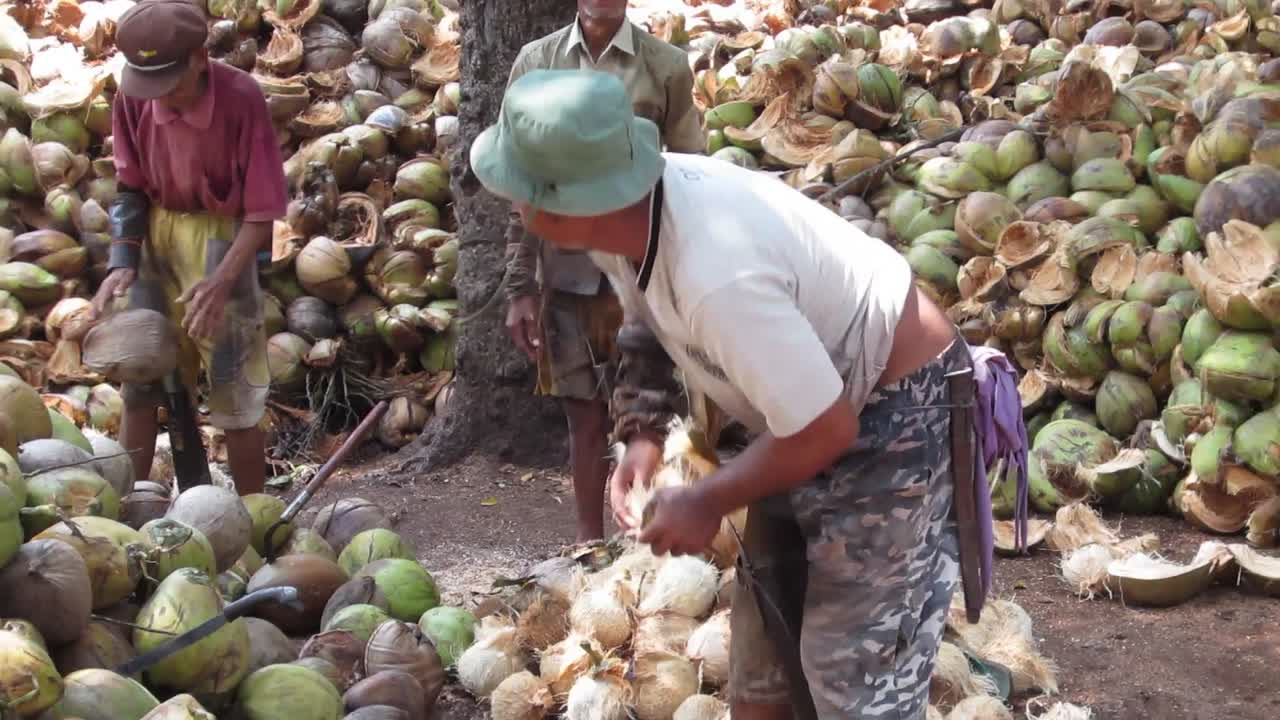 How to shuck a coconut!