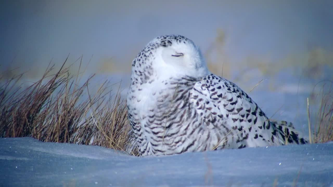 Snowy Owl, 25 December 2014, Xiqi, Inner Mongolia