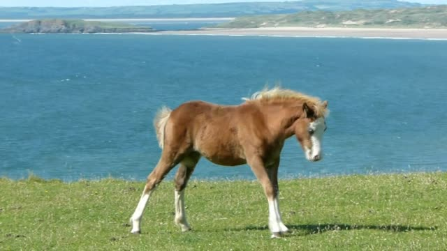 Small Gower foal at Rhossili Bay