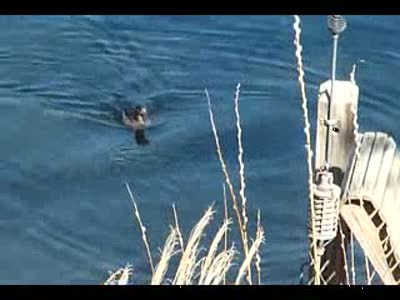 Hooded Mergansers diving