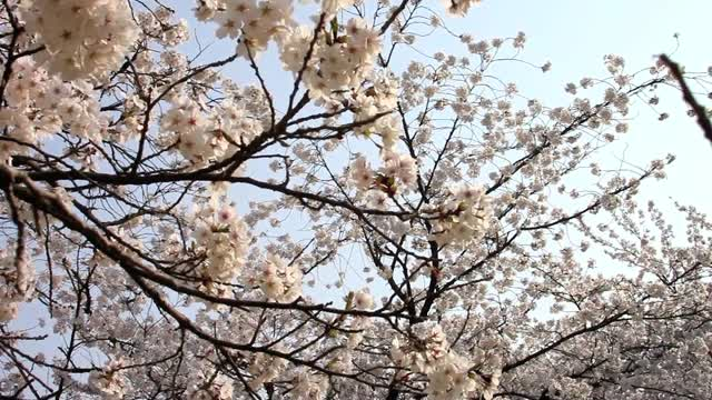 Cherry Blossoms in Korea 2011