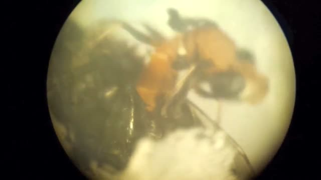 Watch a conopid fly emerge from its bumblebee host.  (Credit:  Amber Slatosky, UVA undergrad researcher)