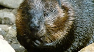 Beaver at the Biodome