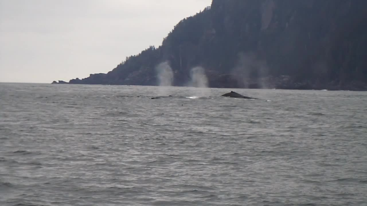 The Fantastic 5, Humpback Whales off Baranof Island 2011