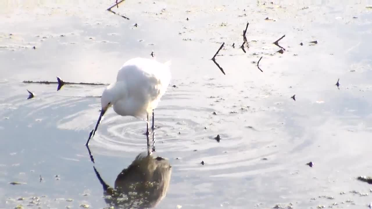 Snowy Egret shaking foot