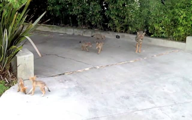 An Urban Coyote Family