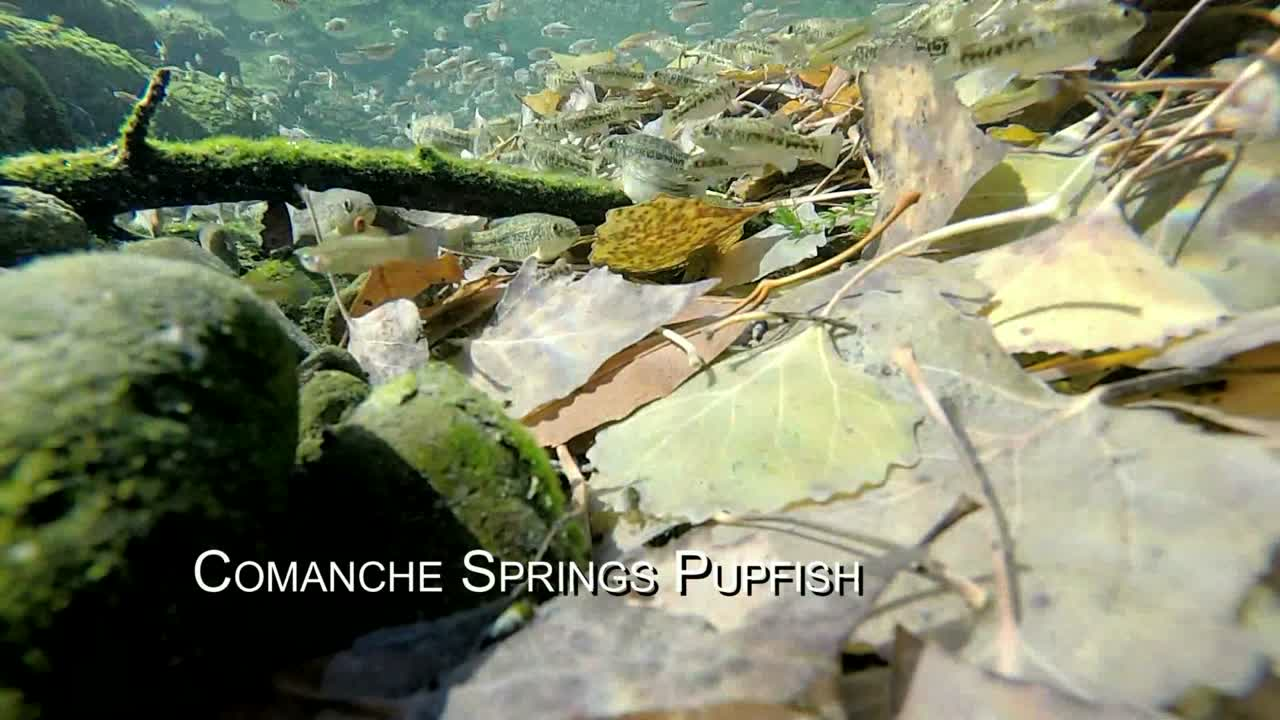 Endangered Comanche Springs Pupfish