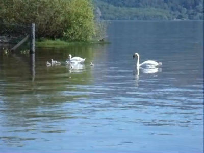 Swans at Luss