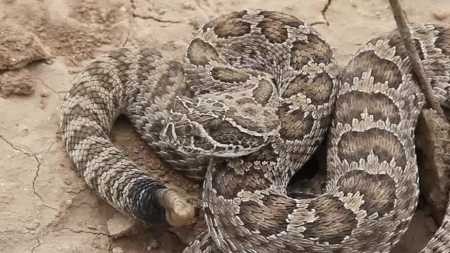 Prairie rattlesnake Carson County