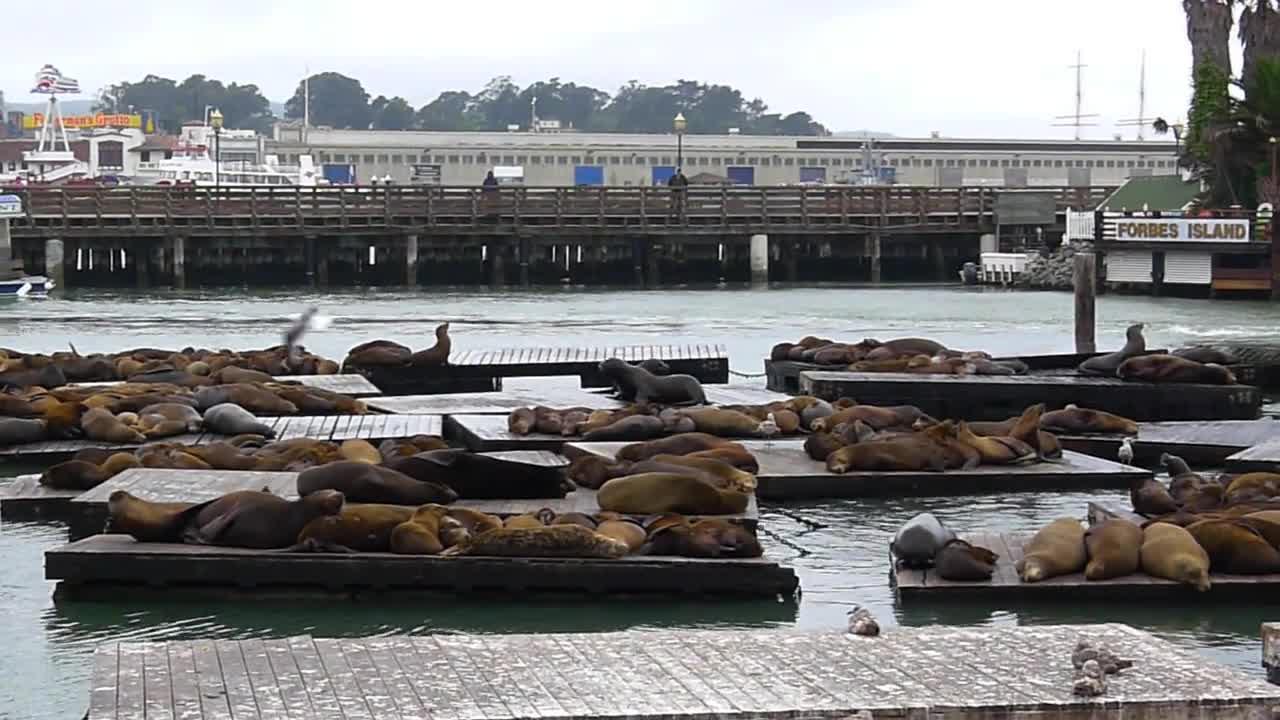 San Fran sea lions