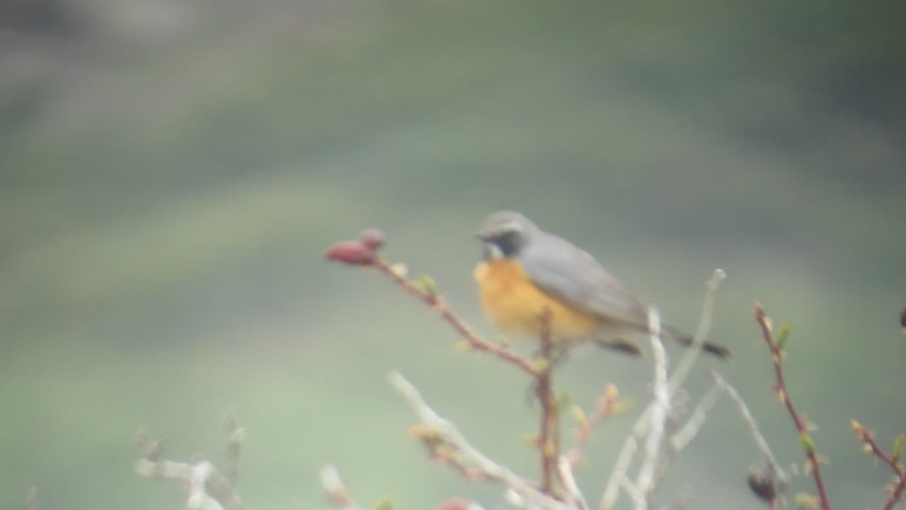 7 White-throated Robin (9)