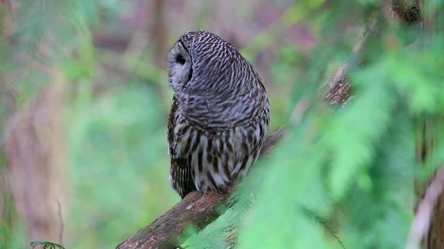 Back Yard Barred Owl