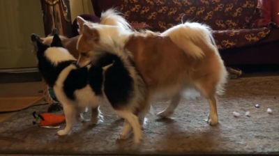 Icelandic Sheepdogs at play